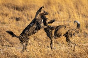 Can Responsible Tourism Help Support Wild Dog Populations?