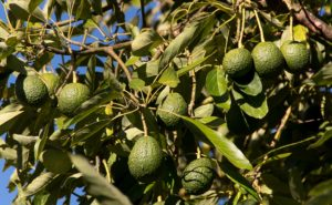 Avocados: The Hidden Impact of our No.1 Super Food